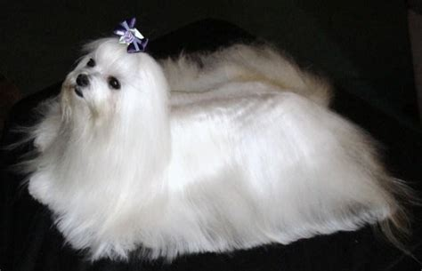 maltese puppies houston maltese puppies maltese breeders puppies for sale dogs