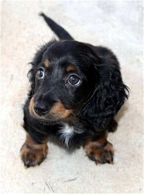 how much are dachshund puppies how much do dachshund puppies cost howmuchisit org