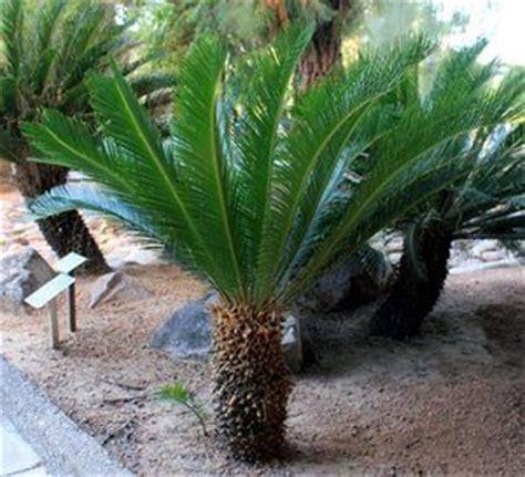 contoh tumbuhan gymnospermae beserta gambar penjelasan