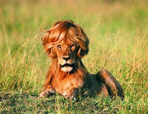 Do Lions Shed lions lose their manes when neutered facts