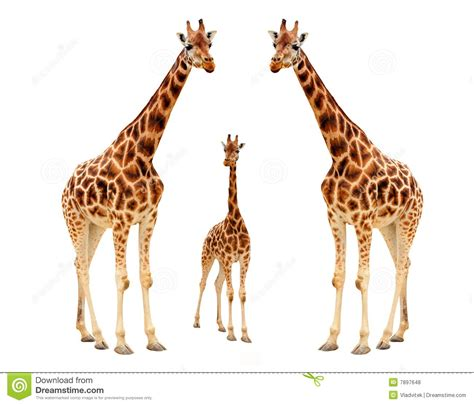 Imagenes De Jirafas En Familia | familia de la jirafa fotos de archivo libres de regal 237 as