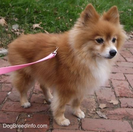 20 pound pomeranian pomeranian breed pictures 1