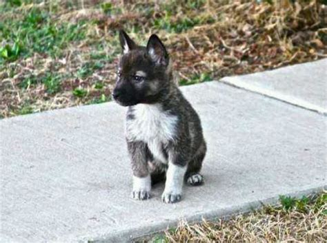 wolf puppy 83 best images about wolf hybrid dogs are amazing on wolves wolves