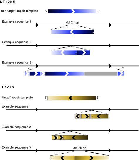 Crispr Cas9 Mediated Homology Directed Repair By Ssodns In Zebrafish Induces Complex Mutational Crispr Repair Template