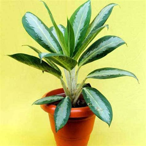 decorative plants indoor plants service provider from - Decorative Plants With Name In India