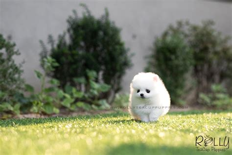 snow white pomeranian sold to nguyen snow white pomeranian f rolly teacup puppies