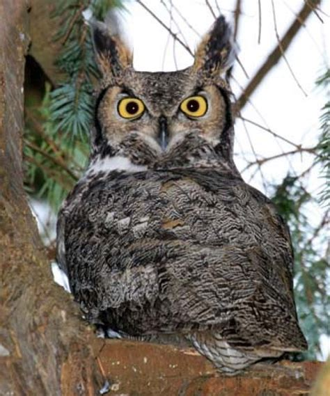 pet owners beware burnaby owls on the hunt