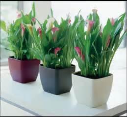 arreglos con planta cuna de moiss arte floral santa rita floristas flores e plantas