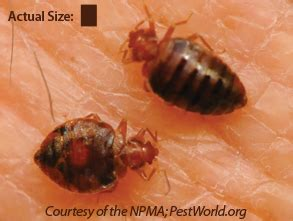 what causes bed bugs to come out bed bugs may pest of the month
