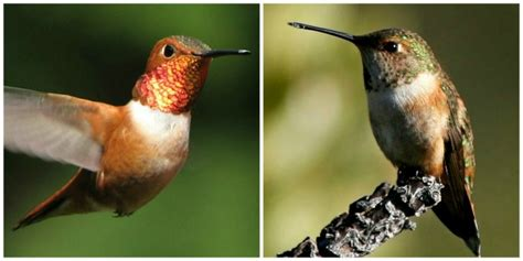 bird of the week the rufous hummingbird