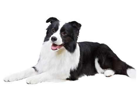 Border Collie Also Search For Opinions On Border Collie