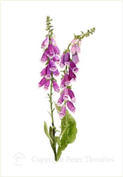 foxgloves fine art print from botanical watercolour