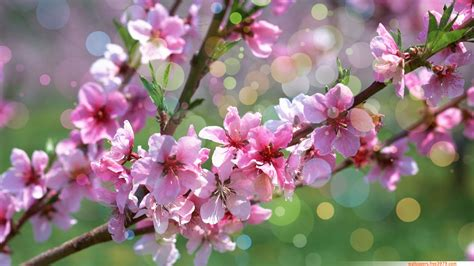 flower blossom wallpaper wallpapers wallpaper 20 asian cherry blossom flower