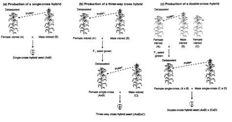 Benih Jagung Manis F2 thophick st metode pemuliaan tanaman jagung