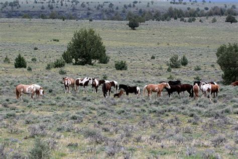 mountain mustangs mustangs of steens mountain nature photography