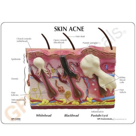 Skin Model
