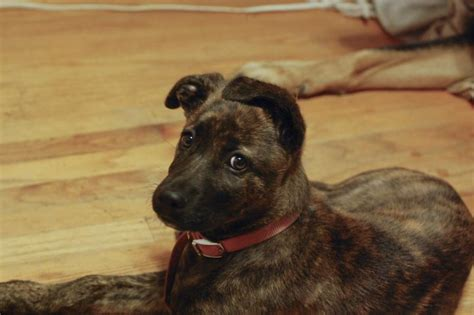 brindle german shepherd puppy boxer pitbull german shepherd mix myideasbedroom