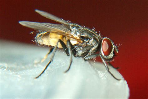 kill house flies kill flies by alternating pesticides monitoring need cornell chronicle