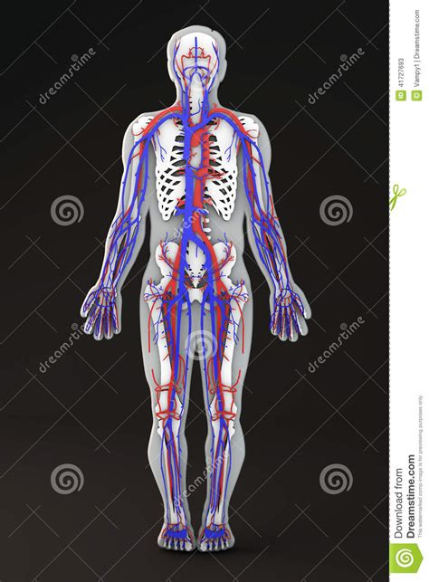 human body section human body skeleton section circulatory system stock