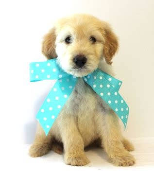 doodle puppies for sale in alabama view ad goldendoodle puppy for sale alabama demopolis usa