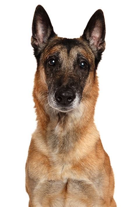 malinois breed belgian malinois breed information pictures characteristics facts dogtime