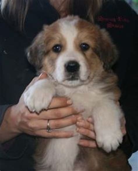 great bernese puppies for sale meet murphy a corgi great pyrenees mix animals pyrenees and met