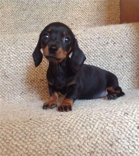 Stunning true mini smooth dachshund girl. | Crowborough ...