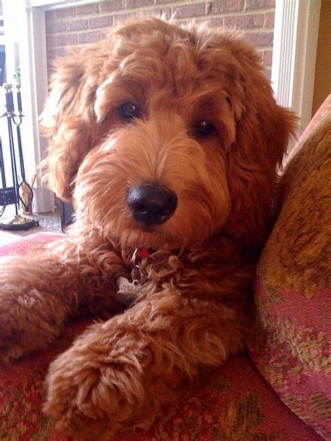 face hairstyle goldendoodle 2747 best vinyl inspirations images on pinterest