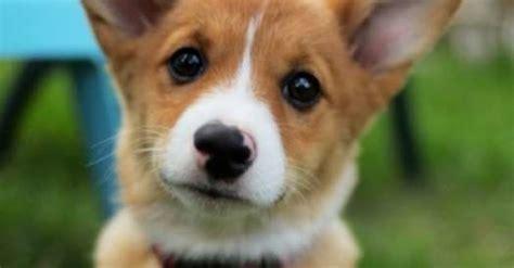 corgi beagle wlkm radio 95 cutest corgi pictures photo gallery of corgis