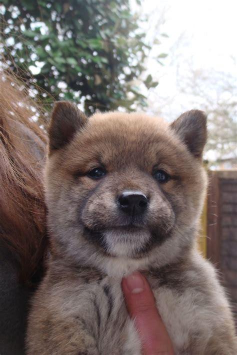shiba inu puppies colorado japanese shiba inu puppies axminster pets4homes