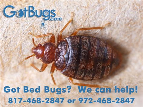can you feel bed bugs can you feel bed bugs crawl on you residential and pest