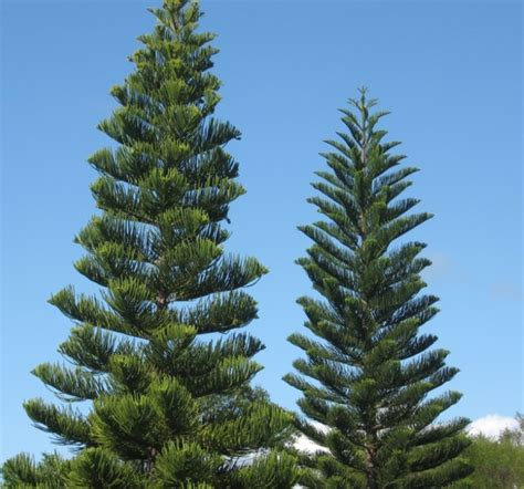 norfolk island pine trees nature as art and inspiration