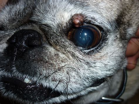 pugs and glands 10 year pug has developed different kinds of bumps