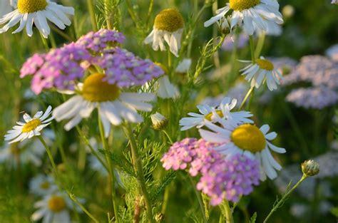 camomilla fiori foto gratis camomilla fiori fiore di co immagine