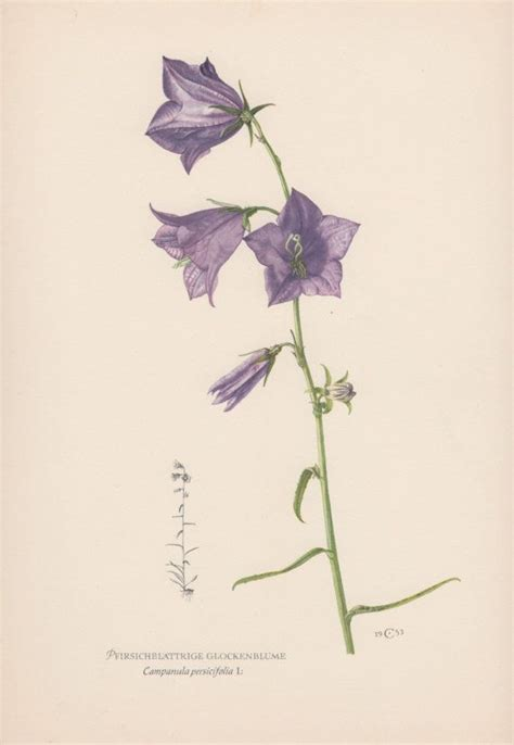 flower tattoo etsy vintage botanical print canula by antiqueprintgarden on