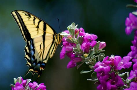 Butterfly Dreams a child s poem butterfly dreams hubpages
