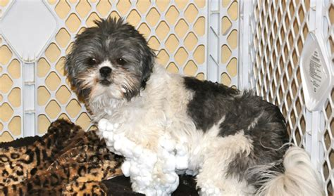 shih tzu shedding problems breeds that don t shed choose your preferred breed pets world
