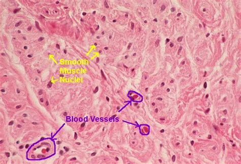 cross section of smooth muscle basic histology smooth muscle cross section