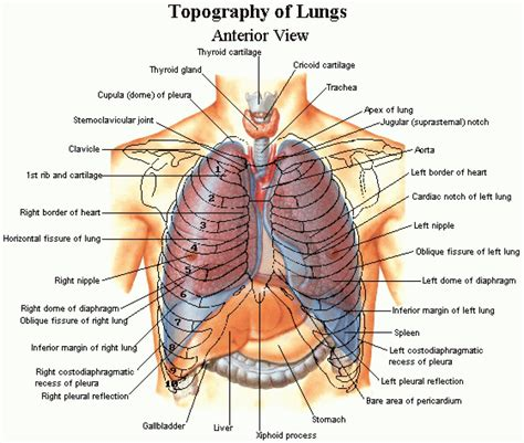 abdominal organs diagram diagram of ribs and organs anatomy organ