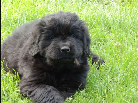 newfoundland puppies mn patti winger breeders gonvick mn