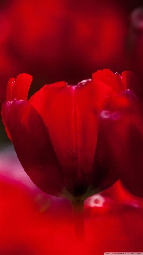 tulips flowers bokeh wallpaper 5120x3200 23648 red tulips 4k hd desktop wallpaper for 4k ultra hd tv