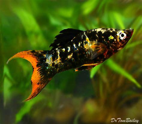 Molly Fish Pics
