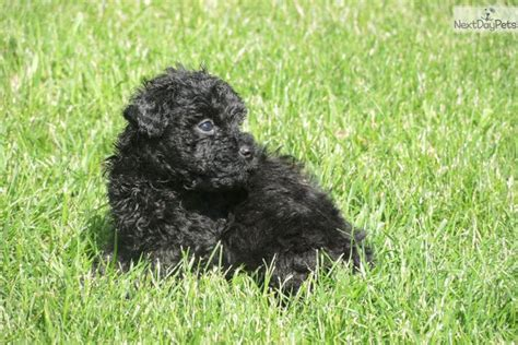 puli puppies for sale puli puppy www imgkid the image kid has it