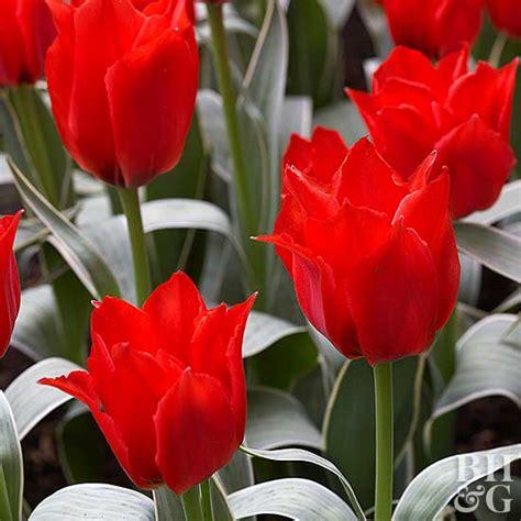tulip greigii hybrids