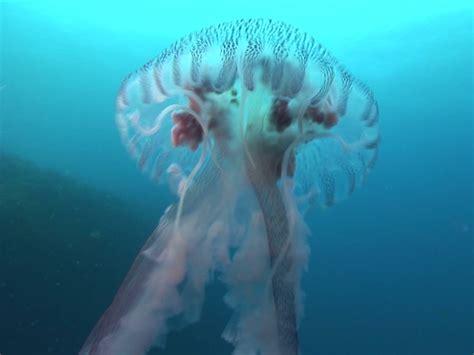 beautiful dangerous jellyfish beautiful dangerous delicious cbs news