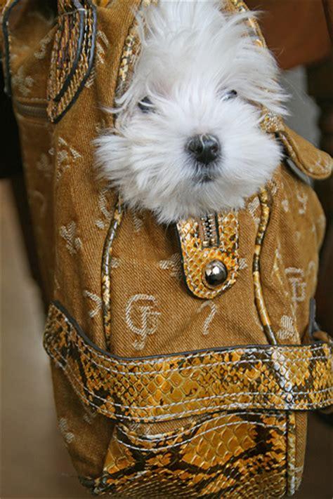 purse puppies purse puppy flickr photo