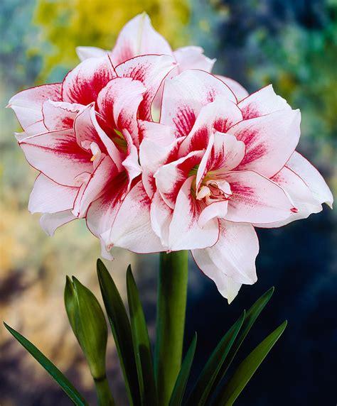 amaryllis fiore amaryllis elvas best 228 ll enkelt hos bakker