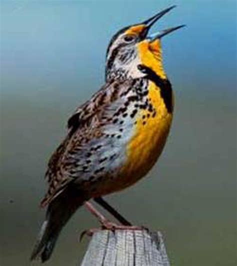 oregon or state bird list of 50 state birdes of the
