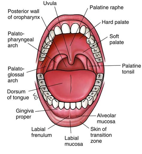 oropharynx diagram an3 08 cavity oropharynx swallowing studyblue