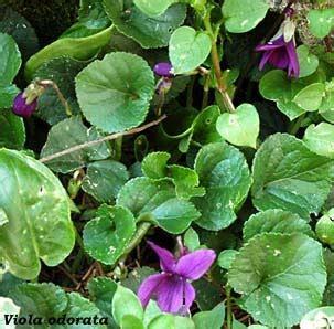 mammola fiore viola odorata viola mammola giardino di dafne e cloe